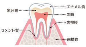 歯の構造 (2)